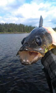 A Northern Ontario Walleye.