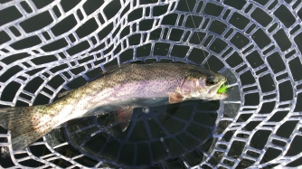 A decent little rainbow trout.
